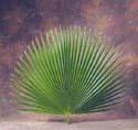 Palm - Fan